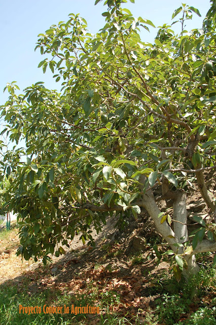 tiempo de aguacates conocer la agricultura y la ganader a On en cuanto tiempo crece un arbol