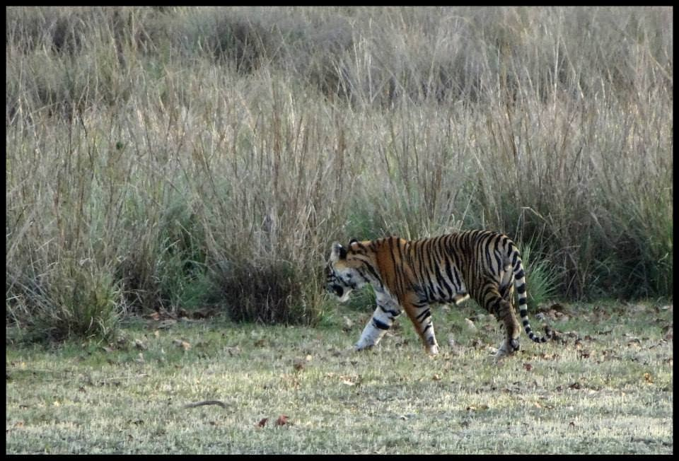 tiger conservation in india We take a look at the top 5 steps needed for tiger conservation in india.