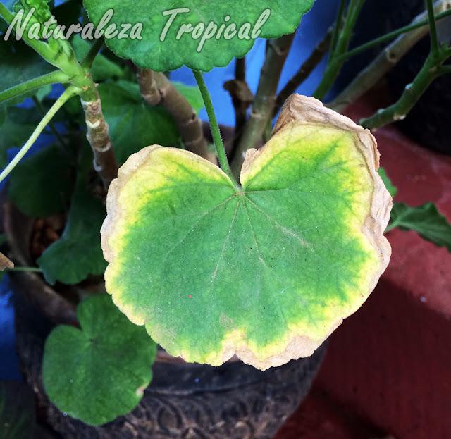 Amarillamiento de una hoja de un Geranio, género Pelargonium