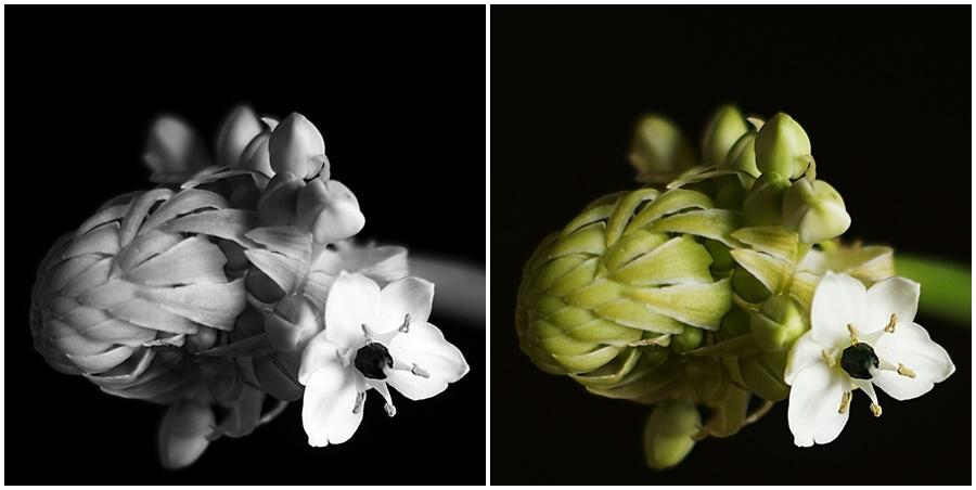 Blog + Fotografie by it's me!   fim.works - Collage Milchstern Gärtnerschreck, Makro Blüte auf Schwarz SchwarzWeissBlick