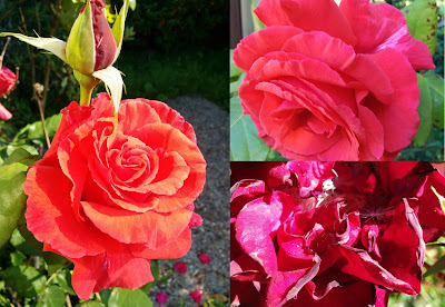 collage photo of red roses on a sunny day