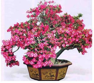 Bonsai Bunga Kamboja Jepang
