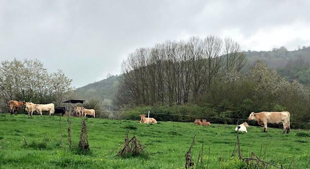 MUCCHE-AL-PASCOLO-LAGO-DI-CAMPOTOSTO