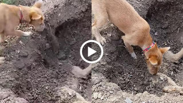 Mengharukan, Lihat Anjing Ini Mengubur Saudaranya yang Mati