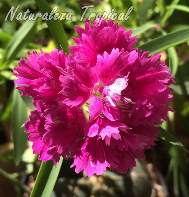 Breve descripción de la Clavelina o Clavel Chino, Dianthus chinensis