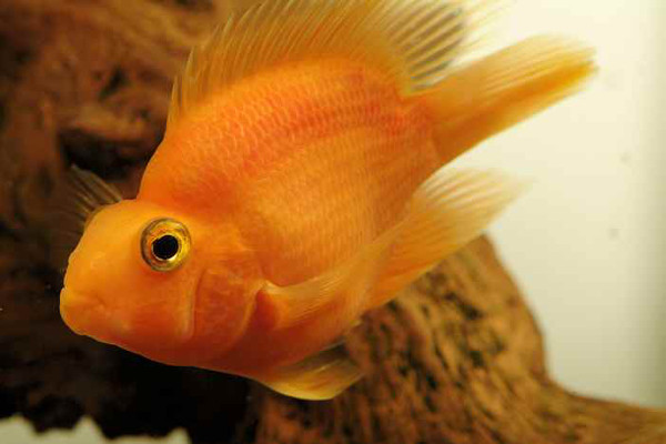 Ikan Hias Red Parrot,  Blood Parrot Cichlid