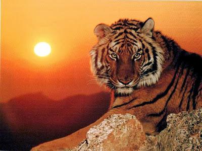Resultado de imagem para um tigre magro