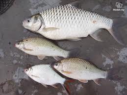 Adiza saidi: Ikan air tawar
