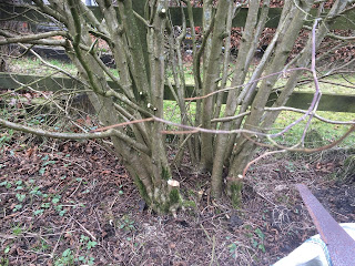 Bean poles, hazel tree, life on pig row