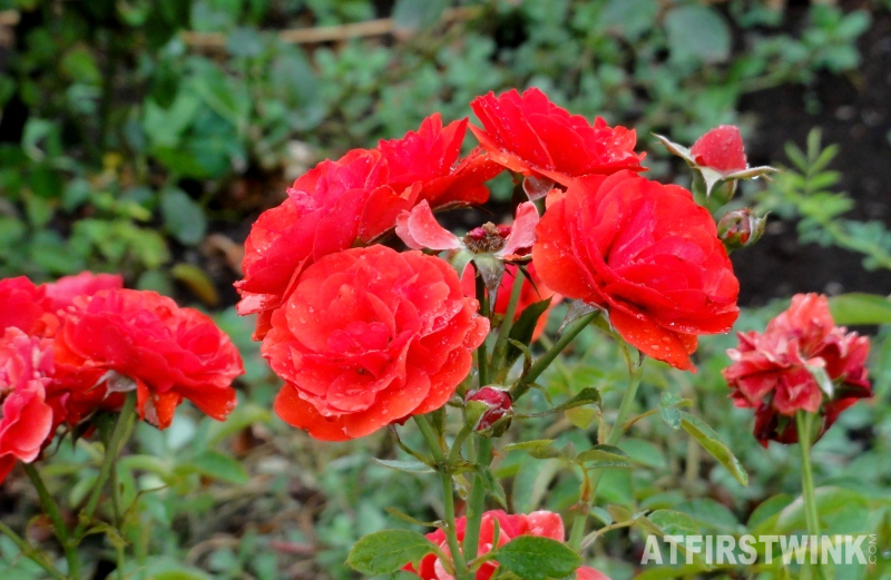 Shinjuku Gyoen 新宿御苑 red roses