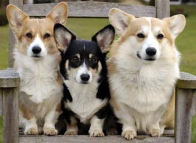 Pembroke Welsh Corgi dog