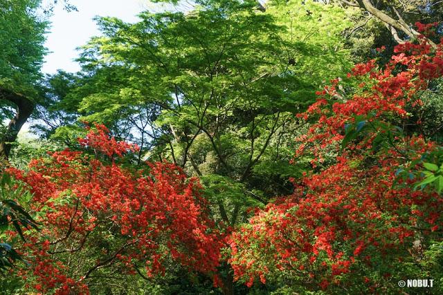 六義園(文京区)の山ツツジ