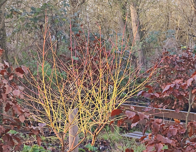 Small dogwood bush, red and yellow surrounded by copper beech hedges