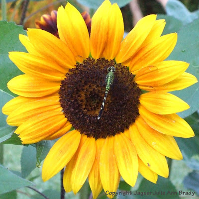 A green dragonfly resting on a yellow sunflower blossom