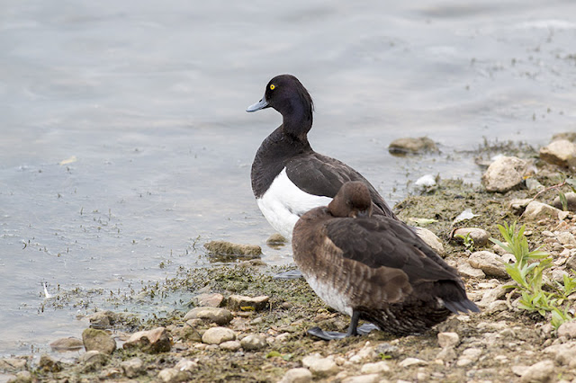 Tufted Duck Pair