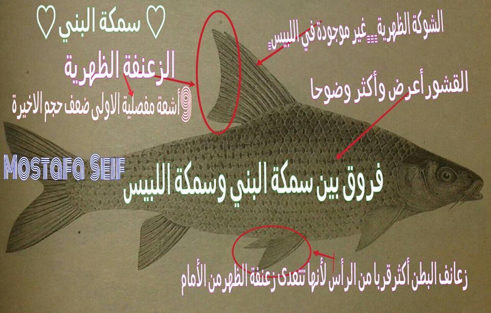 معلومات للصياد فى مصر سمكة البني