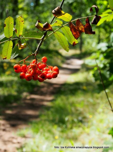 las w wawrze , lasy mazowieckie , grzybobranie , wycieczka , na grzyby , na jagody , co słychać w lesie , jarzębina , las lipcowy , prosto z lasu , wieści podmiejskie , grzyby , kwiaty