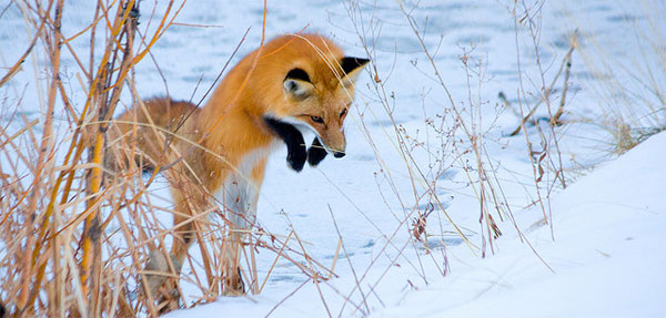 Engaging Fox Photos