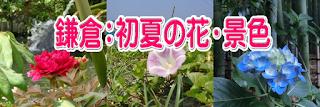 鎌倉:初夏の花・景色