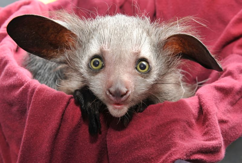 Baby Animals: Baby Aye-aye 1