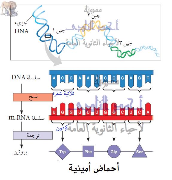 الشفرة الوراثية - genetic code - الثالث الثانوى – الجين – إختلاف ترتيب وأنواع وعدد الأحماض الأمينية