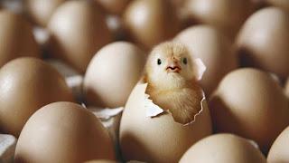 teori ayam atau telur  yang tercipta lebih dahulu