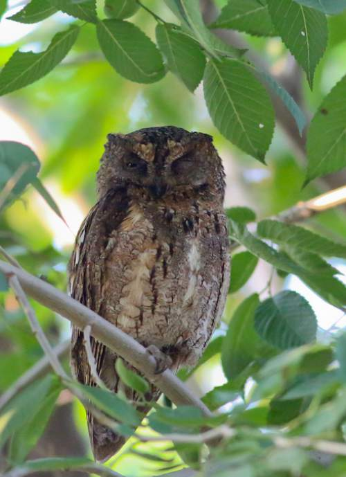 Picture of Oriental scops owl - Otus sunia