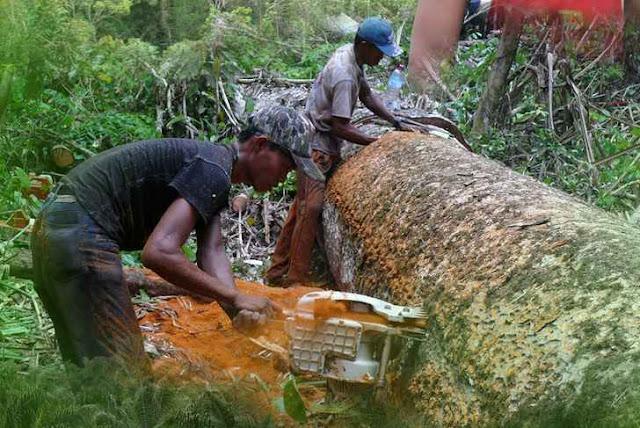 Maraknya pencurian kayu di Indonesia - Zamrud Khatulistiwa