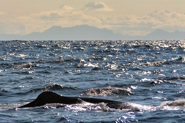 Lomo de cachalote en Andenes, Noruega