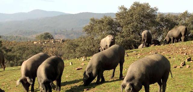 Cerdos y bellotas