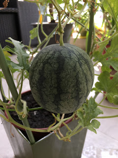 Watermelon ready to harvest