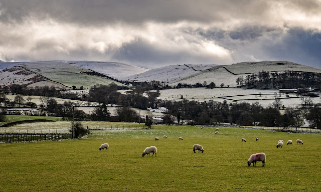 Photo of sheep grazing in a field with snowy hills in the distance