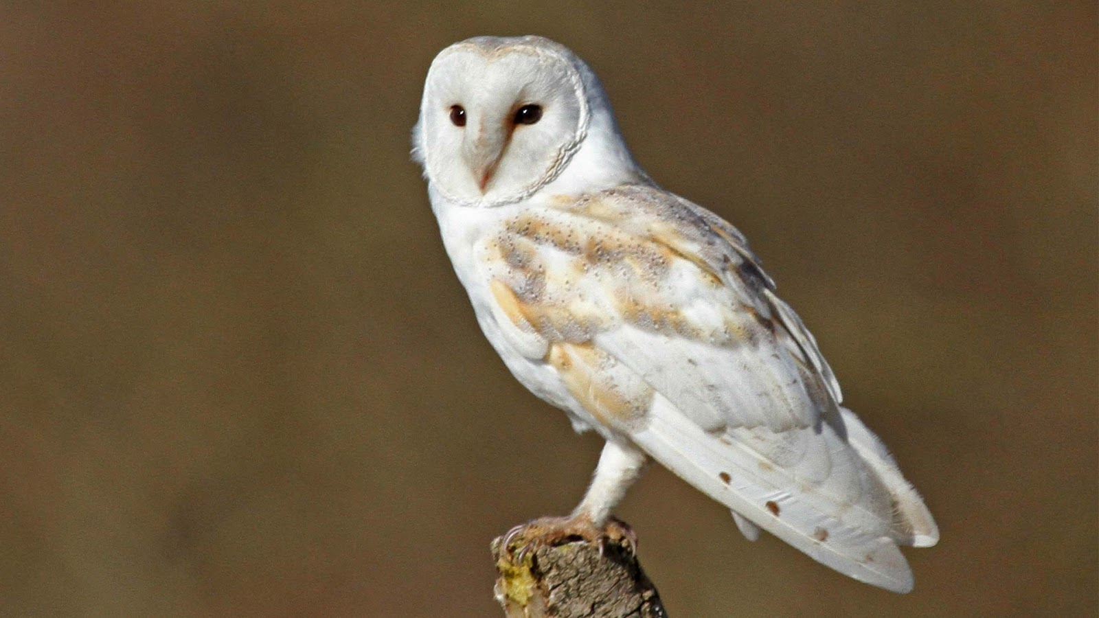 Barn Owl | HD Wallpapers (High Definition) | Free Background