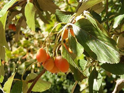 Frutos del mostajo (Sorbus aria)