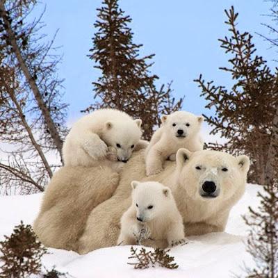 fotografia del reino animal osos polares