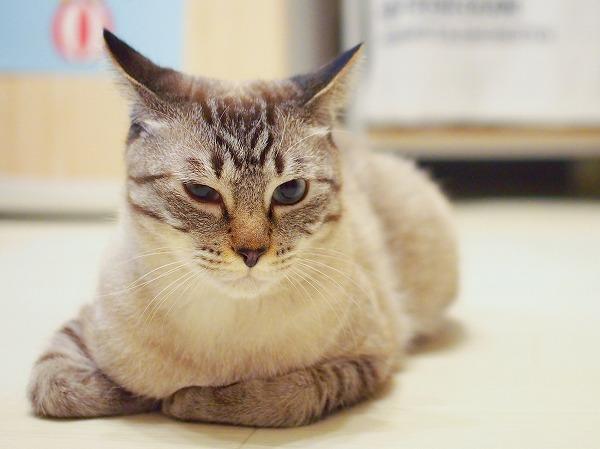 イカ耳で目つきの悪いシャムトラ猫
