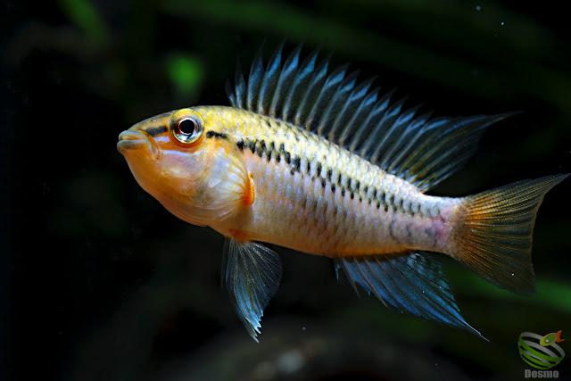 Apistogramma Pedunculata / Rio Caura