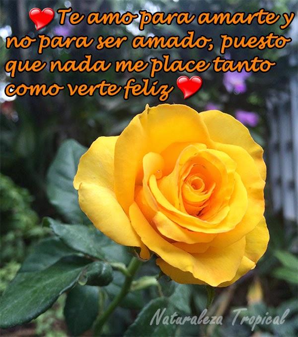 Frase de amor con flor rosa