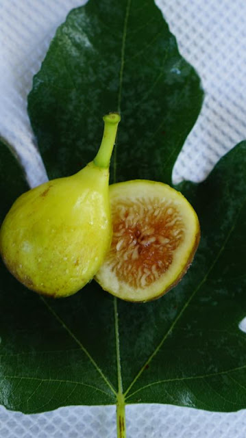 ALCOBACA Figs