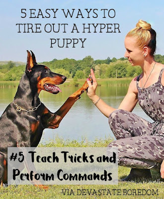 I wish I had known these when Kaylee was a puppy!  SO smart, and easy. #5 Teach tricks and perform commands! - 5 simple, minimal-effort ways to exercise your dogs when It's raining, hot out, or you're sick / pregnant / just freaking tired!  How to entertain a hyper puppy without exhausting yourself in the process...
