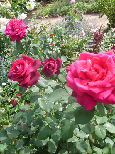 ma plan te jardin belle remont e estivale des nouveaux rosiers kordes sunstar et gr fin diana. Black Bedroom Furniture Sets. Home Design Ideas