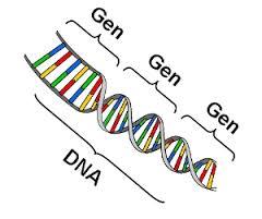 Pengertian Penampakan Gen dan Macam Interaksi Gen