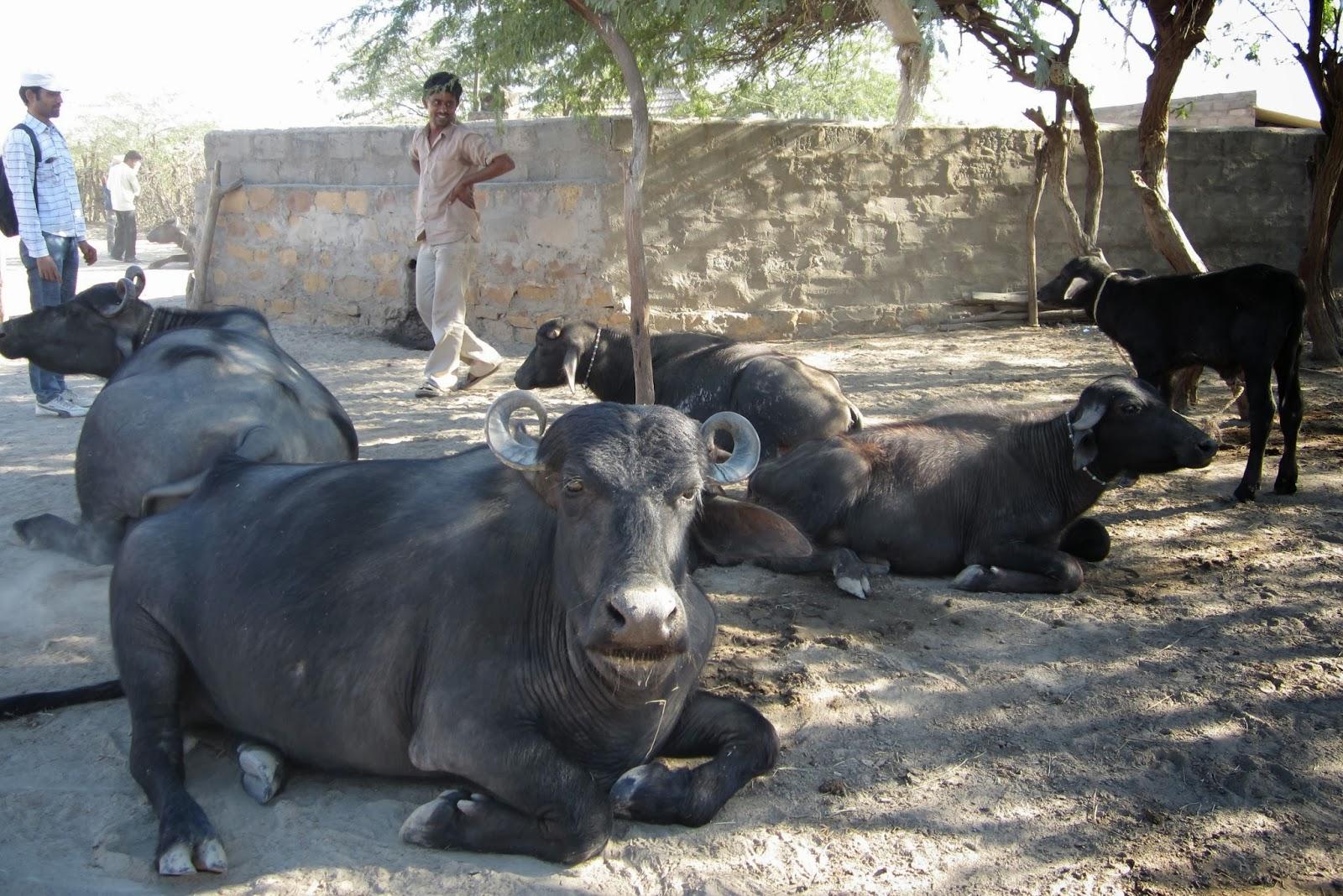 Dairy Farming: Banni buffalo, the unique and valuable