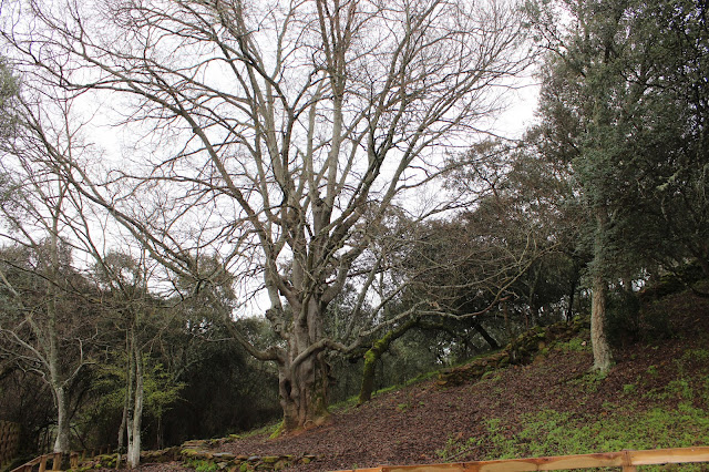 Almez, árbol singular Parque Nacional de Monfragüe. Cáceres