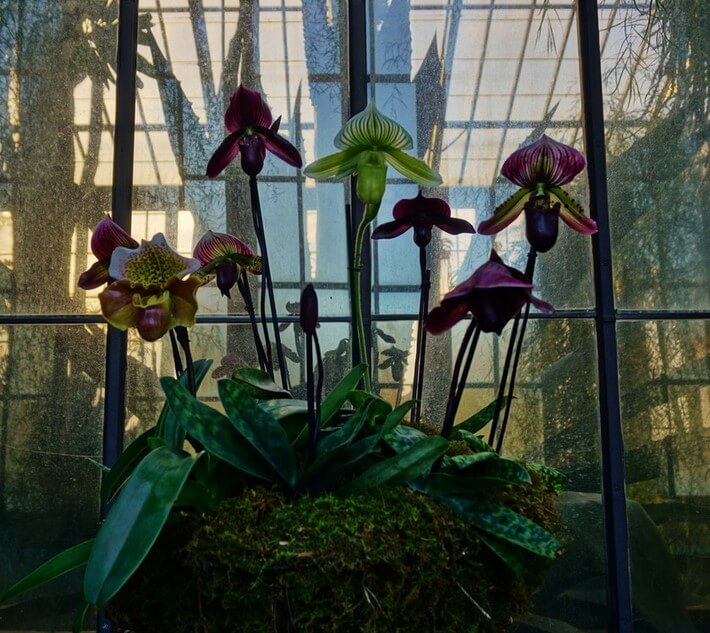 Cesta con orquídeas Paphiopedilum Longwood Gardens 2017 Orchid Extravaganza