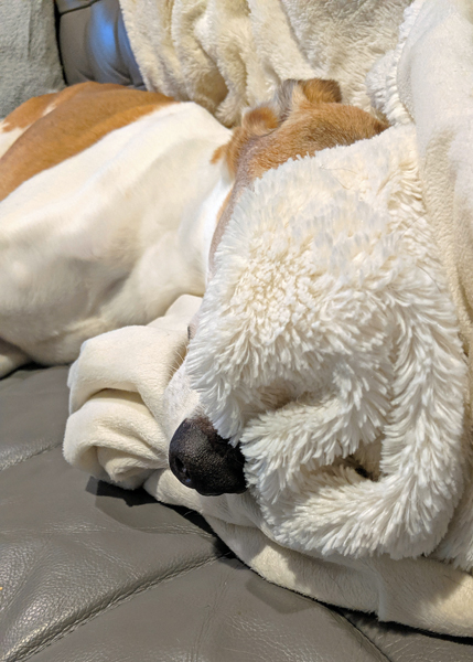 image of Dudley the Greyhound lying on the sofa with his face buried under a fuzzy white blanket and the tip of his long snout poking out the other side