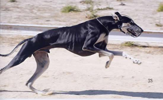 lab dog price in india
