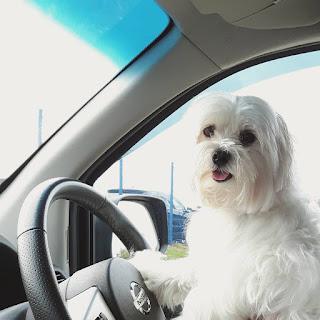 perro maltes y su adopcion