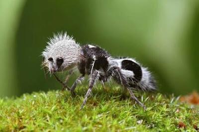 Semut Panda - Sekitar Dunia Unik