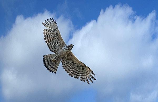 Langkawi Mountain Hawk Eagle